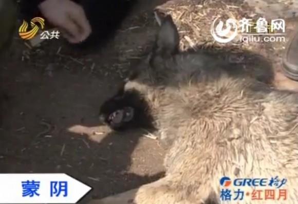五头家养猪猪拱死一只疑似狼的动物 是狼是狗