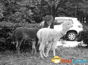 <b>富二代花10多万购2只可爱羊驼 当宠物养在公司</b>