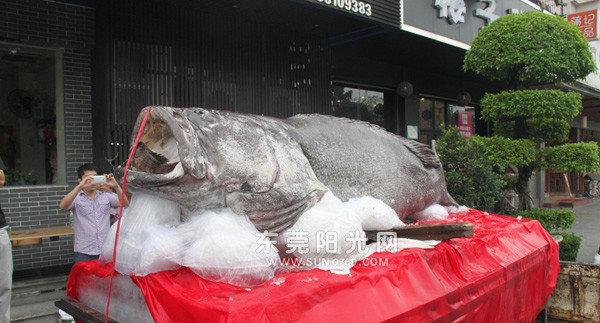 毫无保护意识!巨型石斑鱼被捕捉吃货扎堆围观