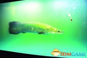 宠物鱼长到1米变成庞然大物 主人无奈送水族馆