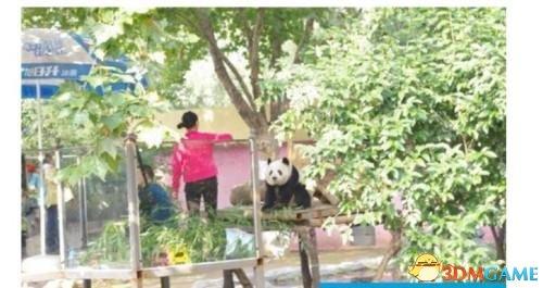 熊猫被逼坐台吃窝头 郑州大熊猫之死引公众质疑