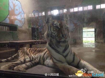 <b>让人看了想流泪 网友曝天津动物园老虎骨瘦如柴</b>