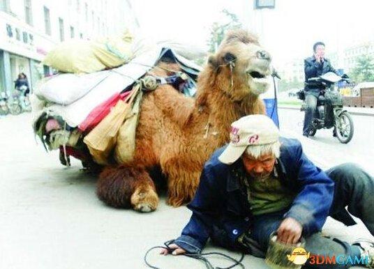 骆驼四肢被砍成乞讨工具 网友:请先救救人的良心