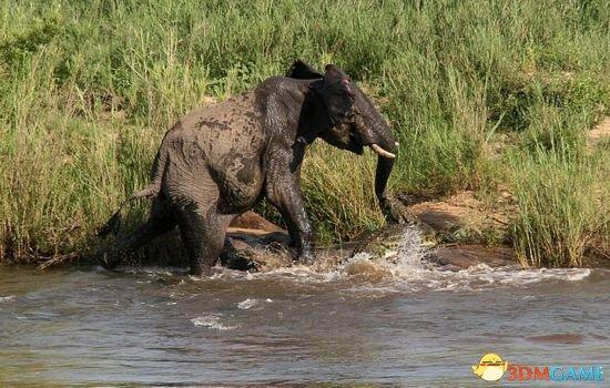 巨兽之战:大象被鳄鱼咬住鼻子 疯狂挣扎方脱险