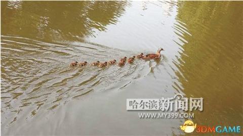<b>游客于公园内放生美洲鳄龟 三只鸳鸯却接连被吃掉</b>