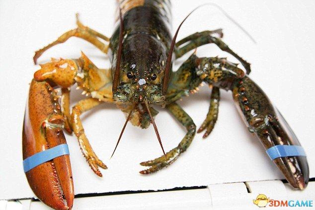 美国捕获双色龙虾:看起来好美味这个到底怎么吃
