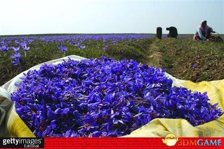 专家:藏红花并非西藏出产 九成出自上海崇明岛