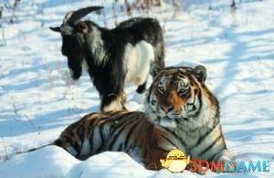 老虎山羊友谊故事系杜撰:老虎因为食物充足没吃羊