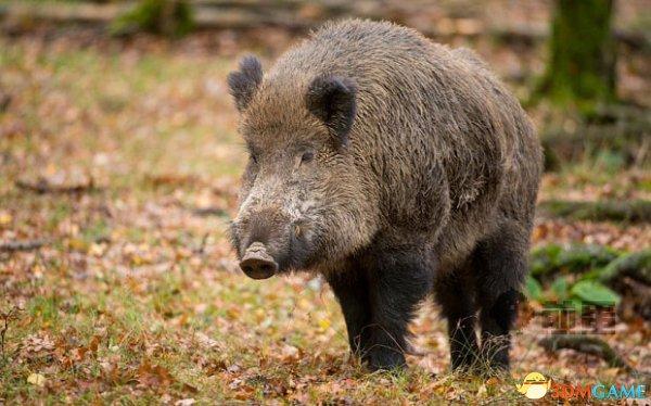 切尔诺贝利核事故30年:放射性野猪已经横行中欧!