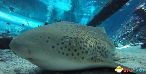<b>鲨鱼中也有圣母:雌鲨鱼竟无需有性交配即可繁殖!</b>
