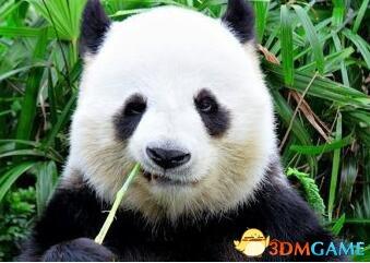 为什么大熊猫是黑白的?科学家:为了能吃饱肚子
