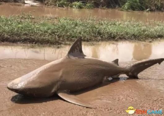 龙卷鲨是真的!澳大利亚小镇惊现巨鲨:深陷泥潭!