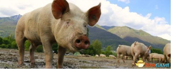 世界最大猪肉生产商的新业务:把猪器官移植给人