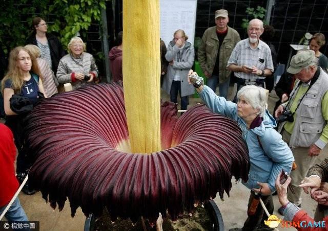 """德国植物园""""尸香魔芋""""开花引围观"""