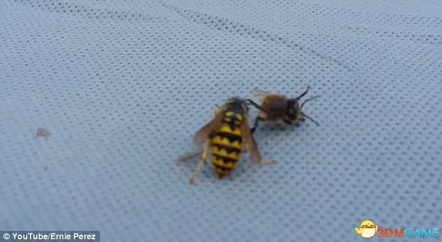 """<b>战斗力惊人 蜜蜂遭遇黄蜂之后竟被肉搏""""爆头""""</b>"""