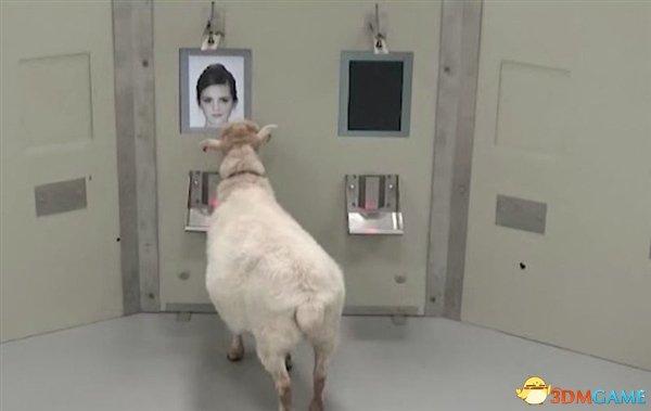 羊的智商刷新大家认知 它可以分辨照片中的名人脸