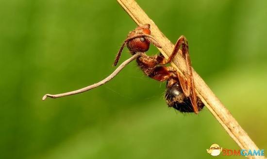 <b>世界上最邪恶的真菌:让蚂蚁变成真正意义的僵尸</b>