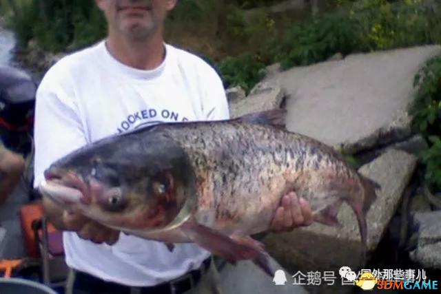 亚洲鲤鱼泛滥 美国人:不能击败它们那就吃掉它们