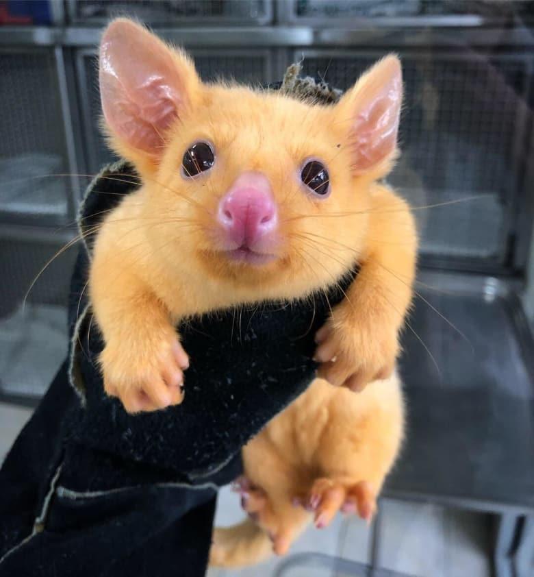 澳大利亚负鼠异变 人们为其取名皮卡丘