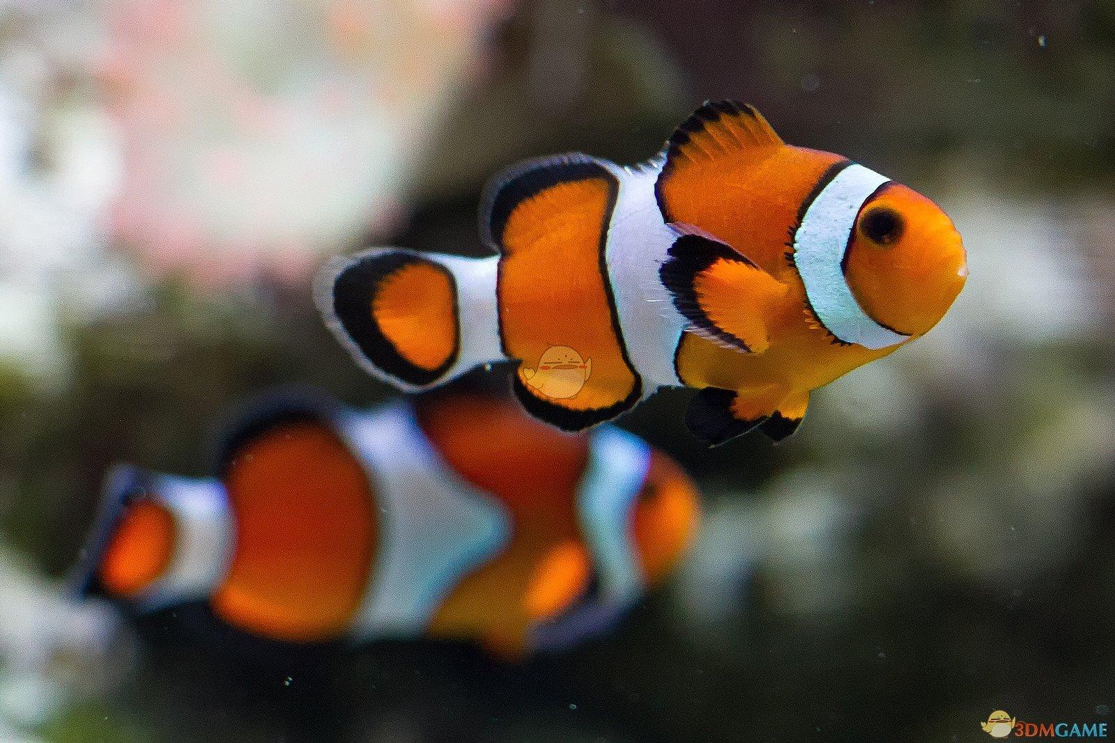 《集合啦!动物森友会》小丑鱼图鉴